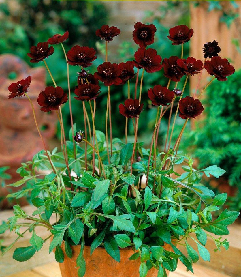 Staudengewächs »Schokoladenblume« in rot
