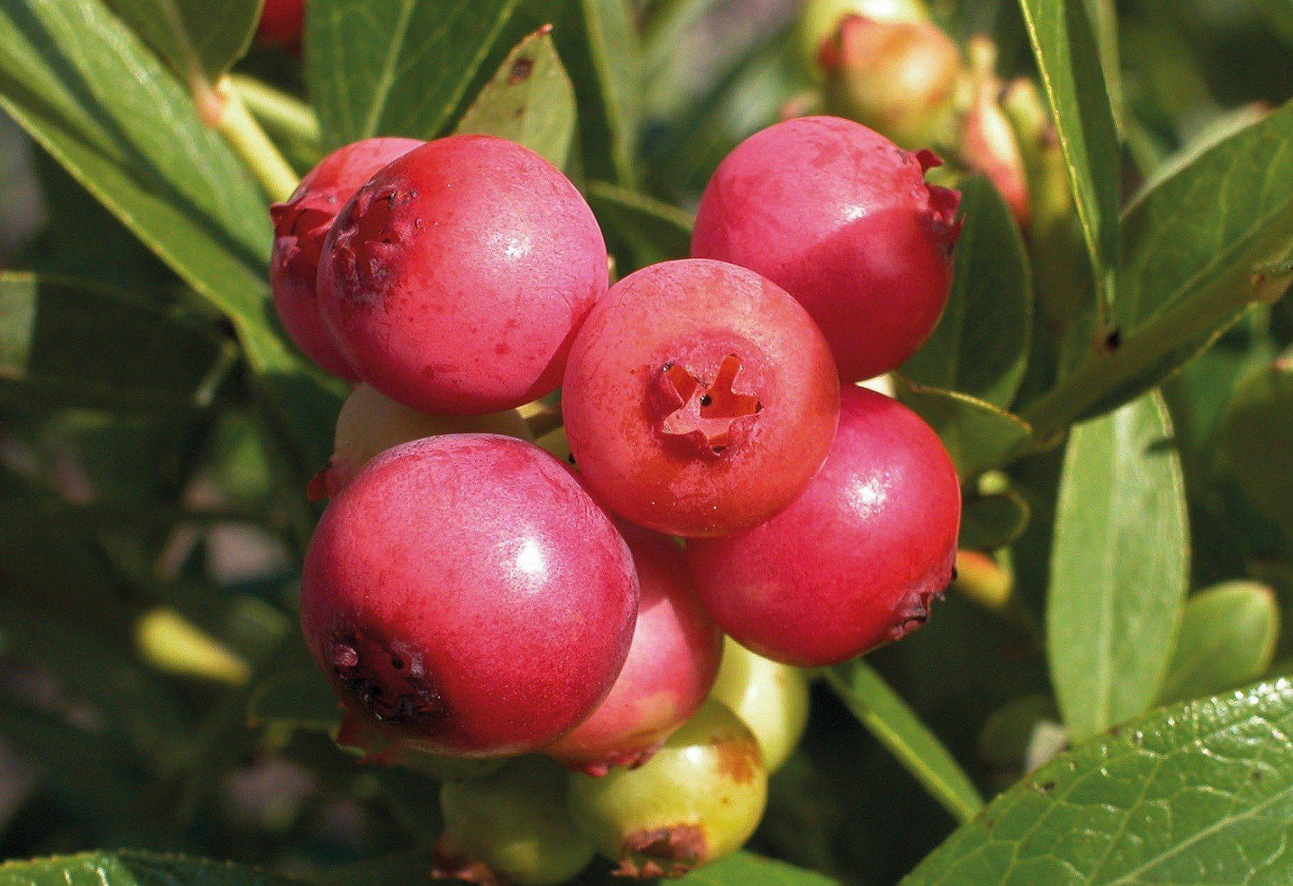 Obstbaum »Heidelbeere Pinkbeere®Pink Lemonade®«