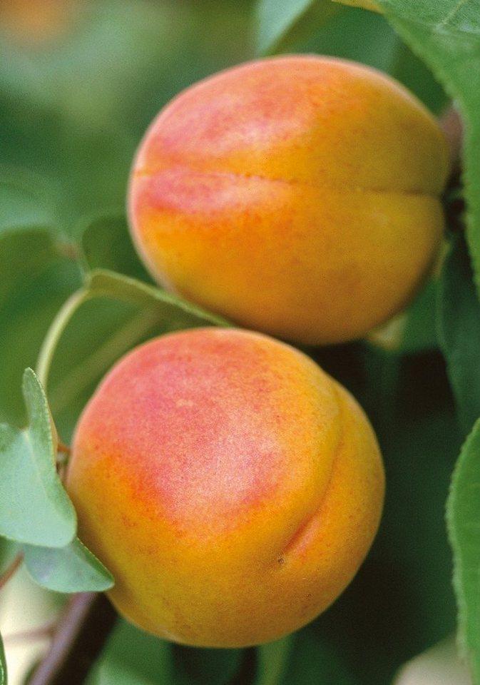 Obstbaum »Pfirsicose« in rosa