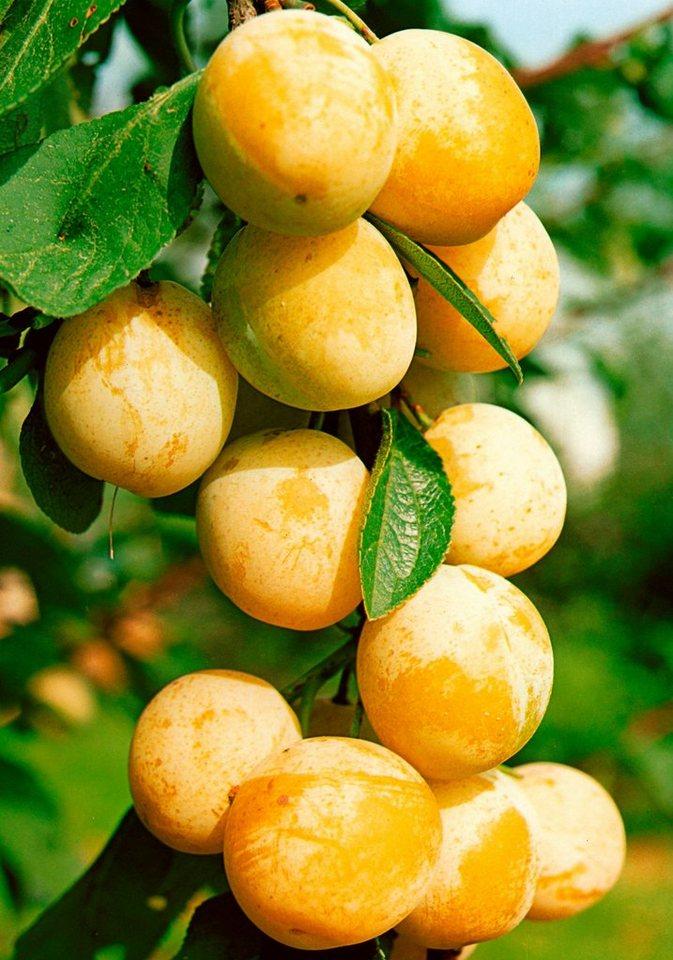 Obstbaum mirabelle de nancy 150 cm lieferh he otto for Kuchen unterschrank 150 cm