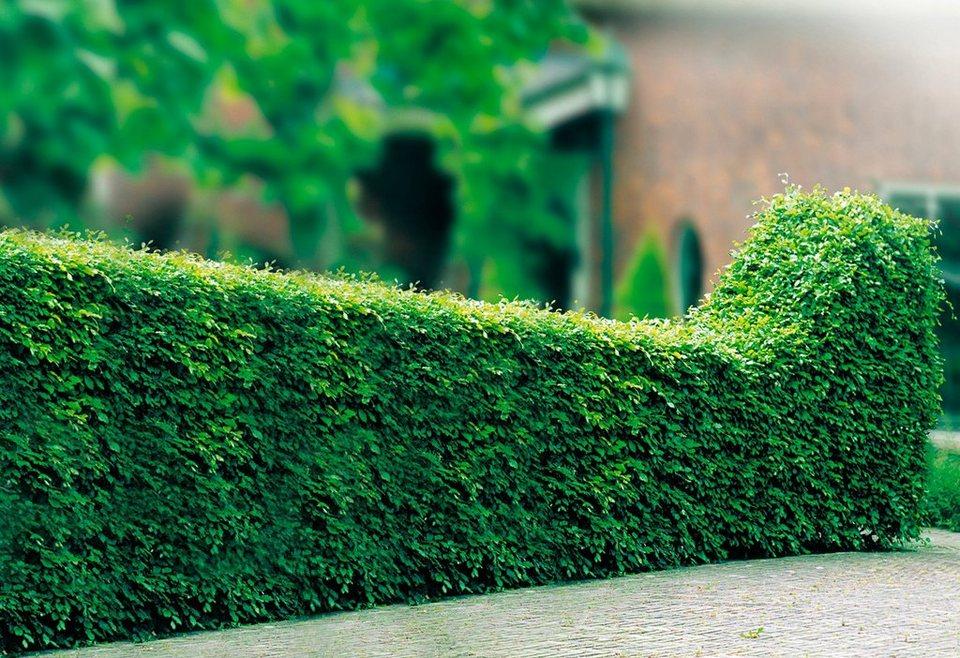 Hecke »Rotbuche«, Lieferhöhe 40 - 60 cm in grün