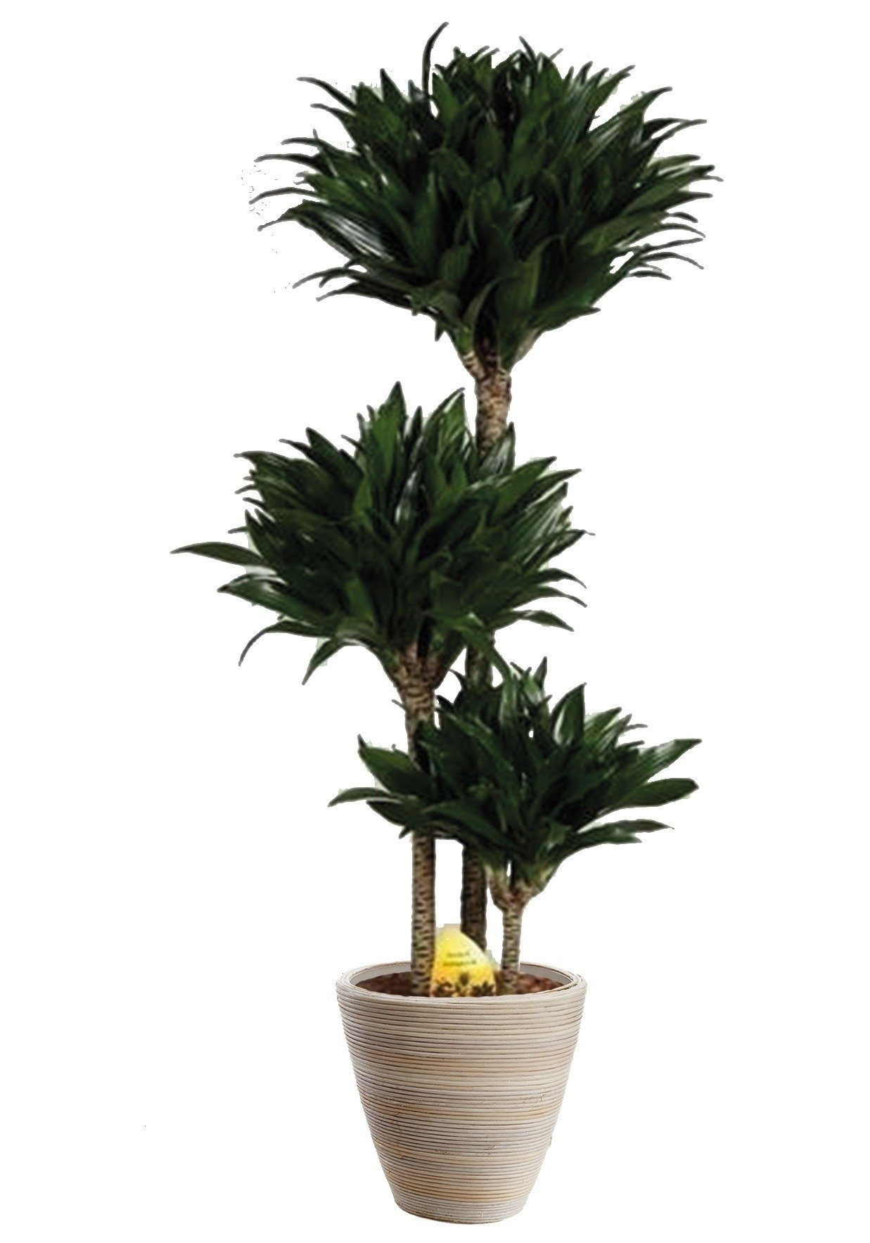 Zimmerpflanze »Drachenbaum Compacta«, 50 cm