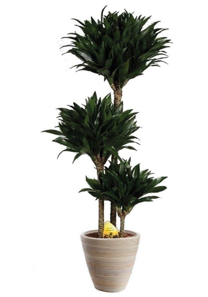 Zimmerpflanze »Drachenbaum Compacta«, 65 cm in grün