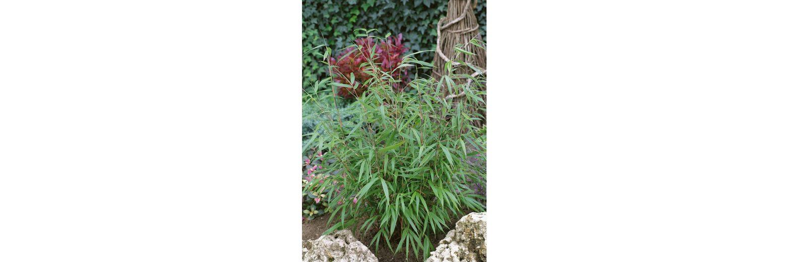 Bambus »Asian Wonder«