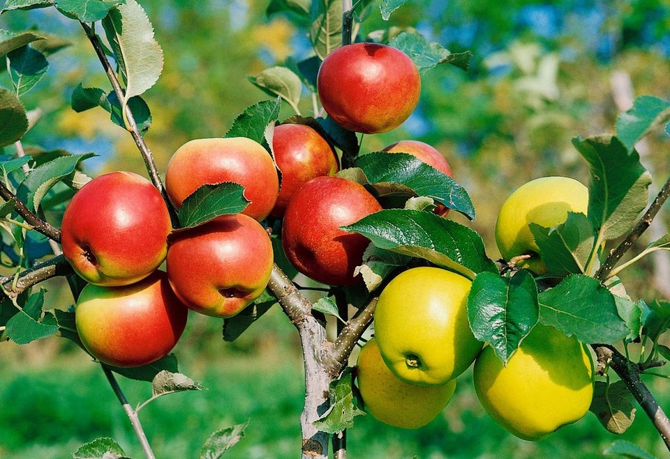 DUO-Obstbaum »Apfel« in grün