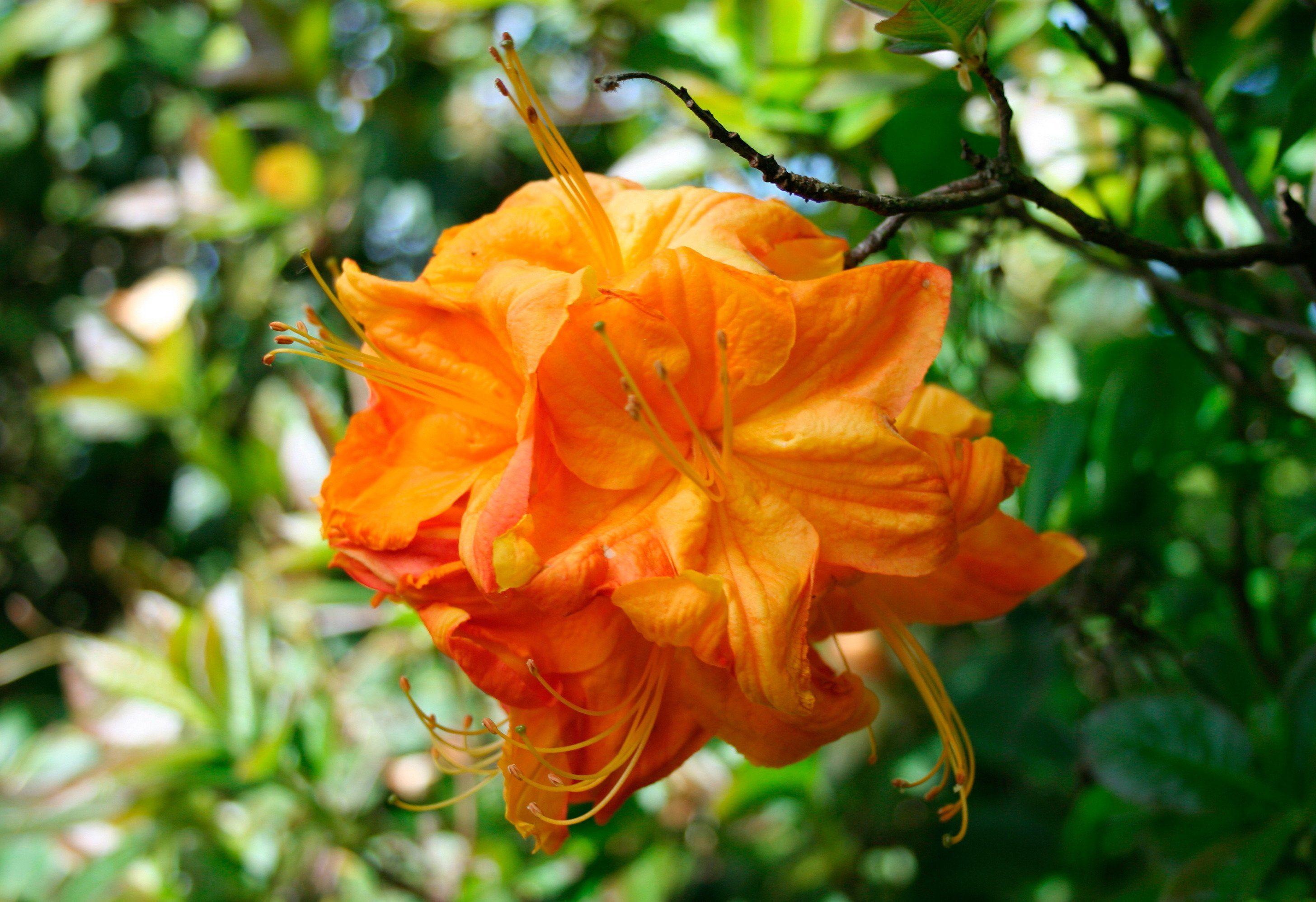 Set: Rhododendron »Azalee Klondyke« 3 (Pfl.)