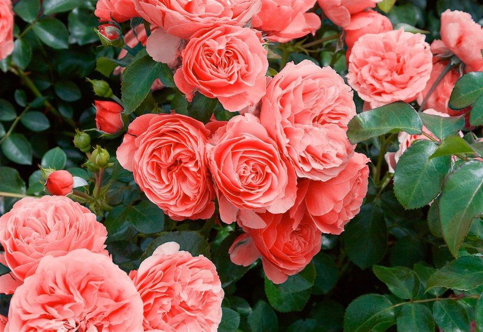 Beetrose »Leonardo da Vinci®« in rosa
