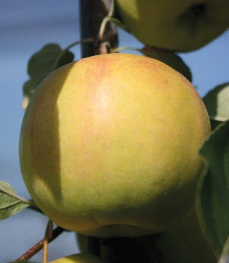 Obstbaum »Apfel Bella Bionda Patrizia«