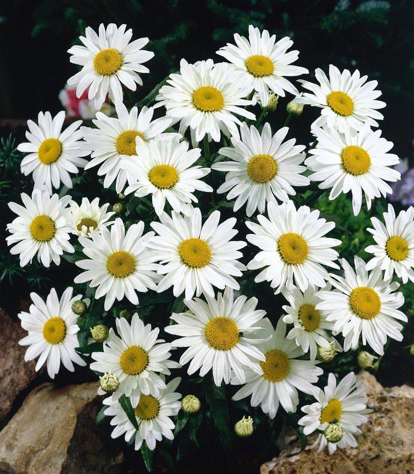 Magerite »Chrysanthemen Busch«, inklusive Übertopf in weiß