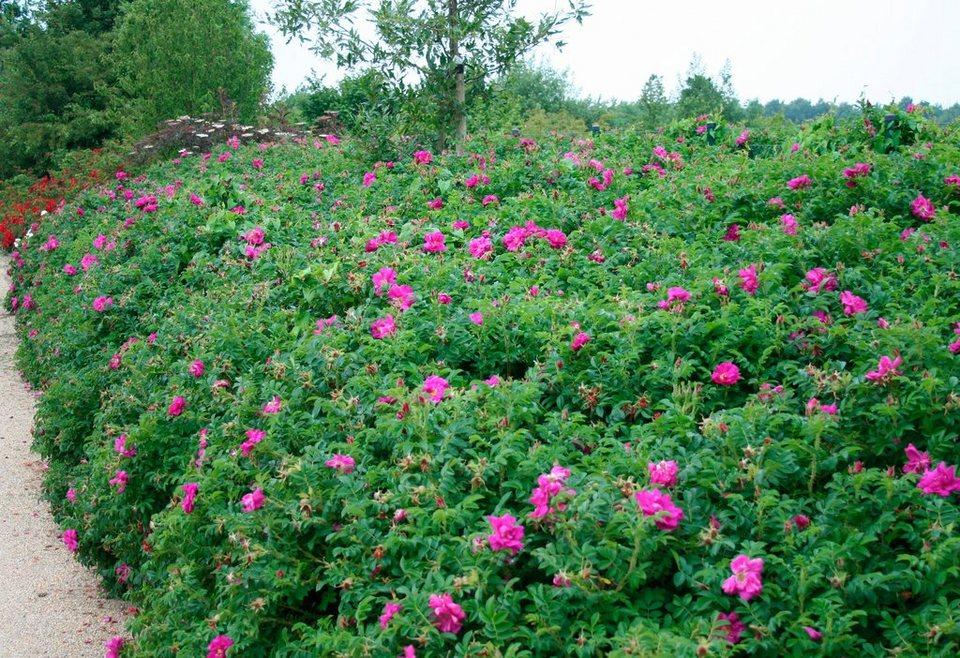 Gehölz »Kartoffel-Rose« (10 Pfl.) in rosa