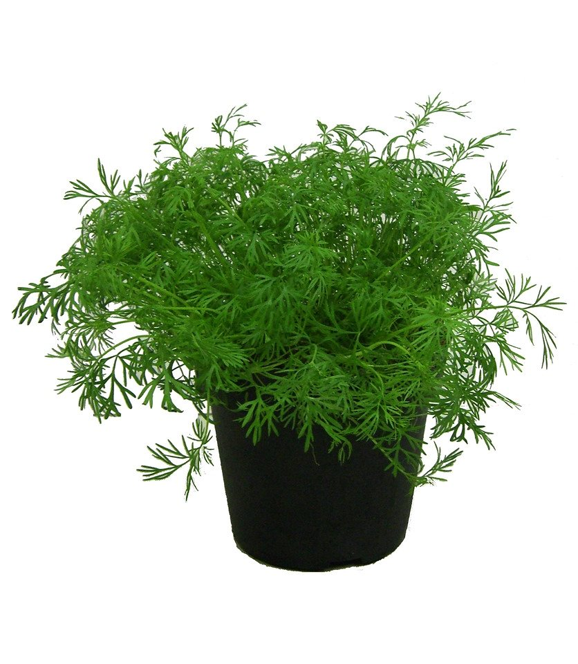 Dill (3 Pfl.) in grün