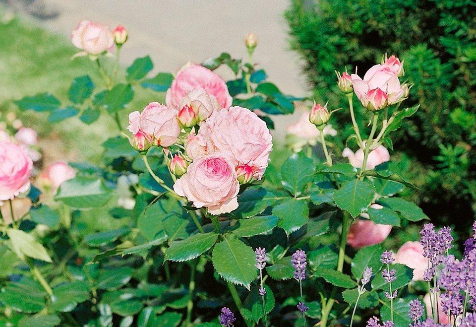 Strauchrose »Eden Rose®« in rosa