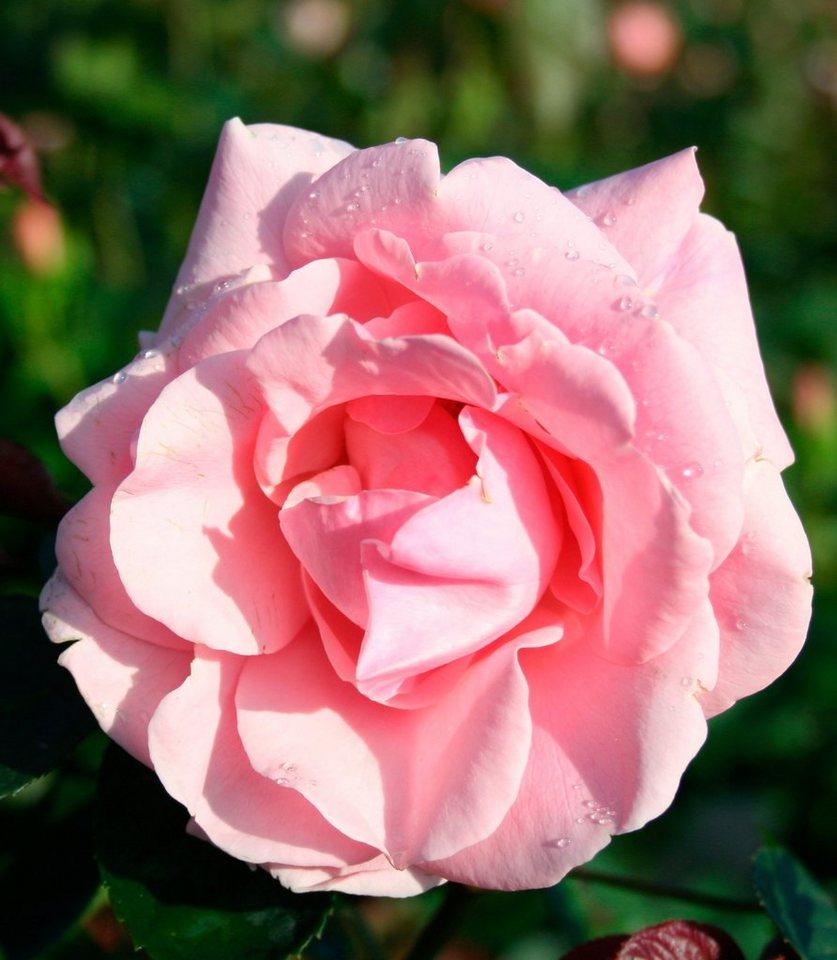 Kletterrose »Coral Dawn®« in rosa