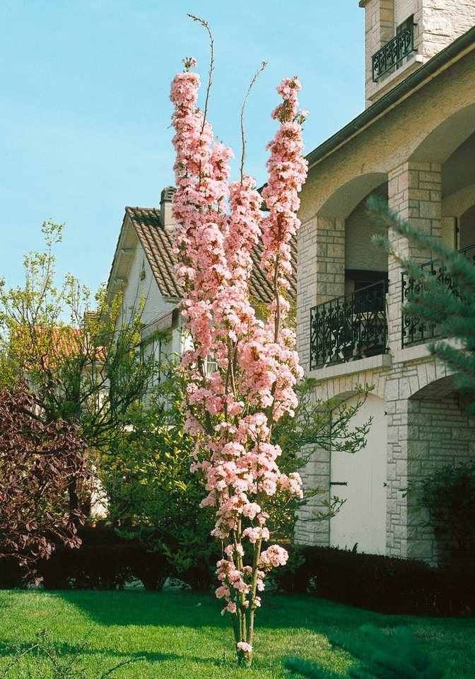 Japanische Nelken-Kirsche Amanogawa, 125 cm in weiß