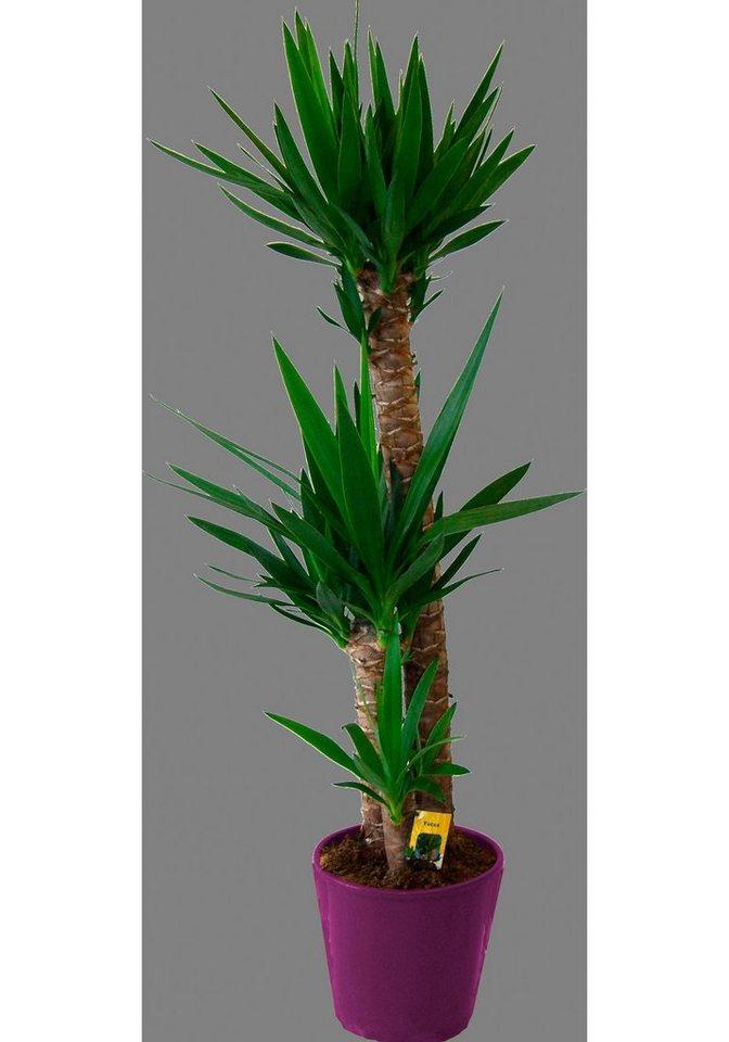 Zimmerpflanze »Riesenpalmlilie« in grün