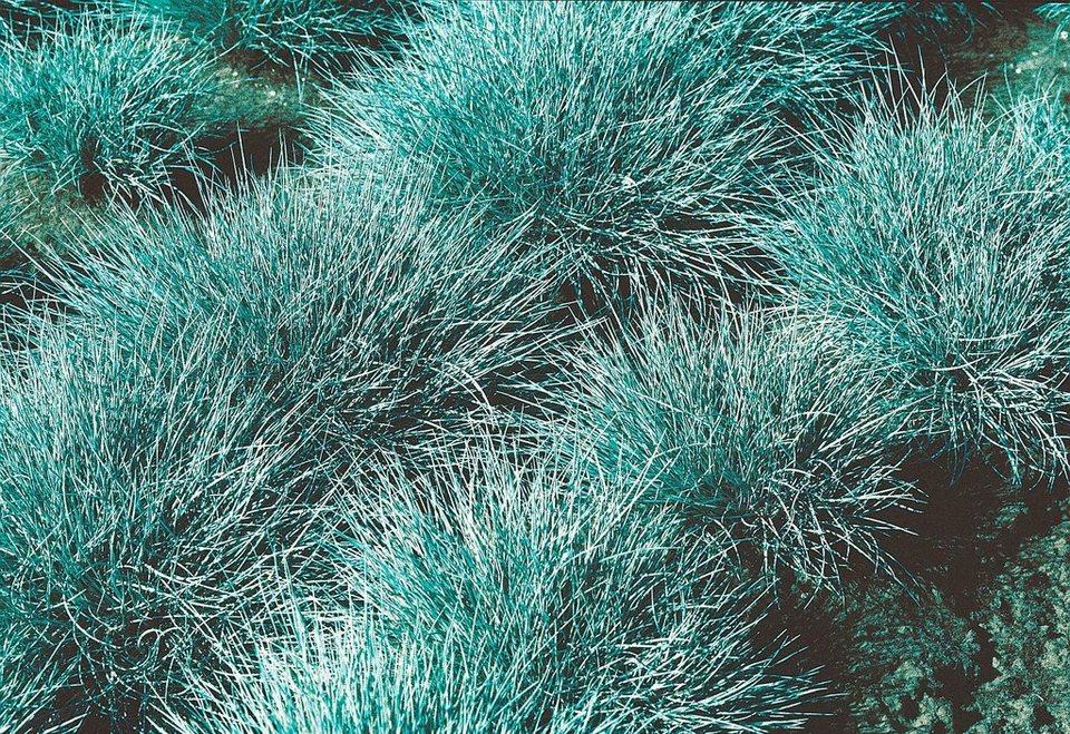 Blauschwingel (3 Pfl.) in grün