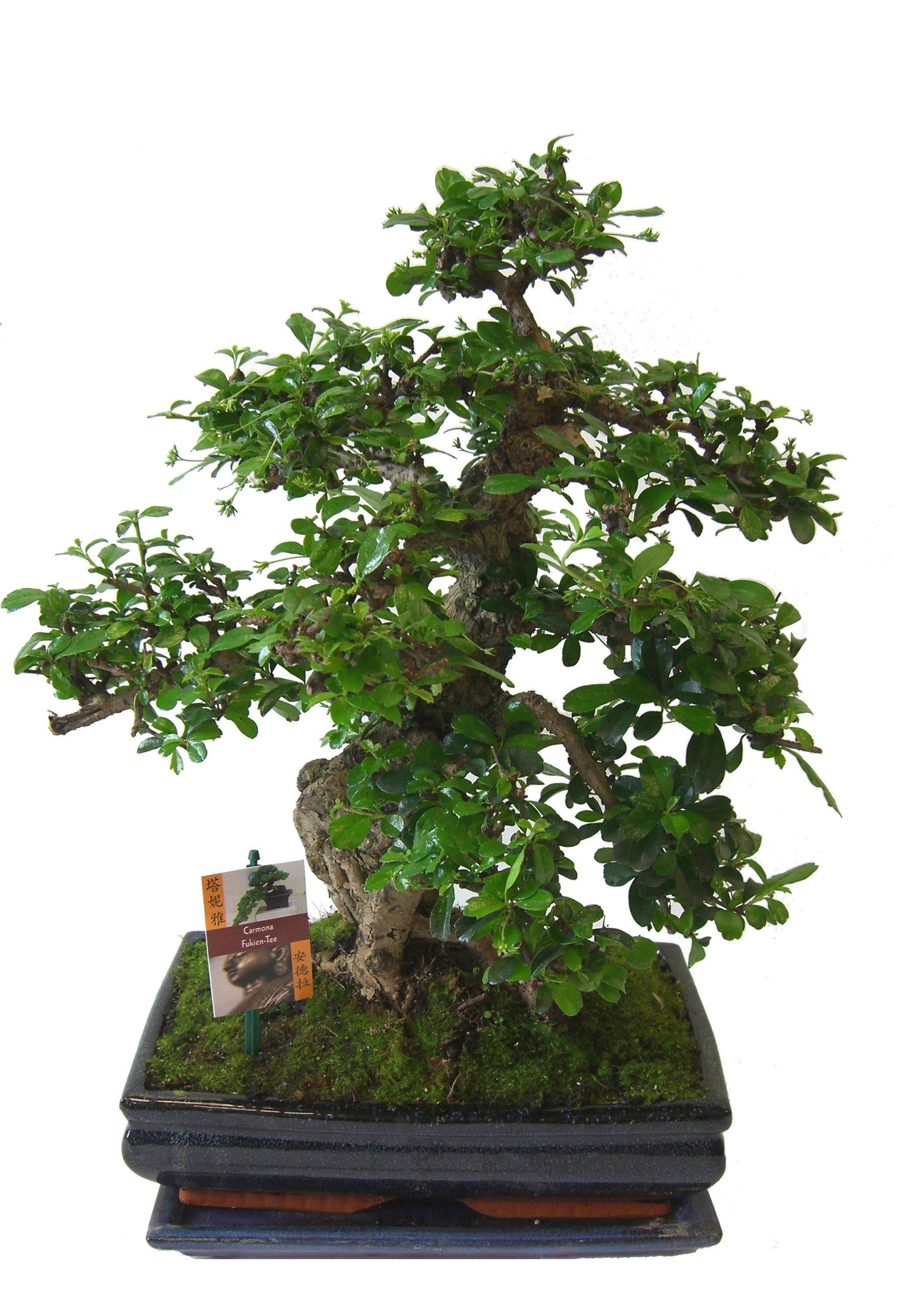 Zimmerpflanze »Bonsai« mit Keramikübertopf