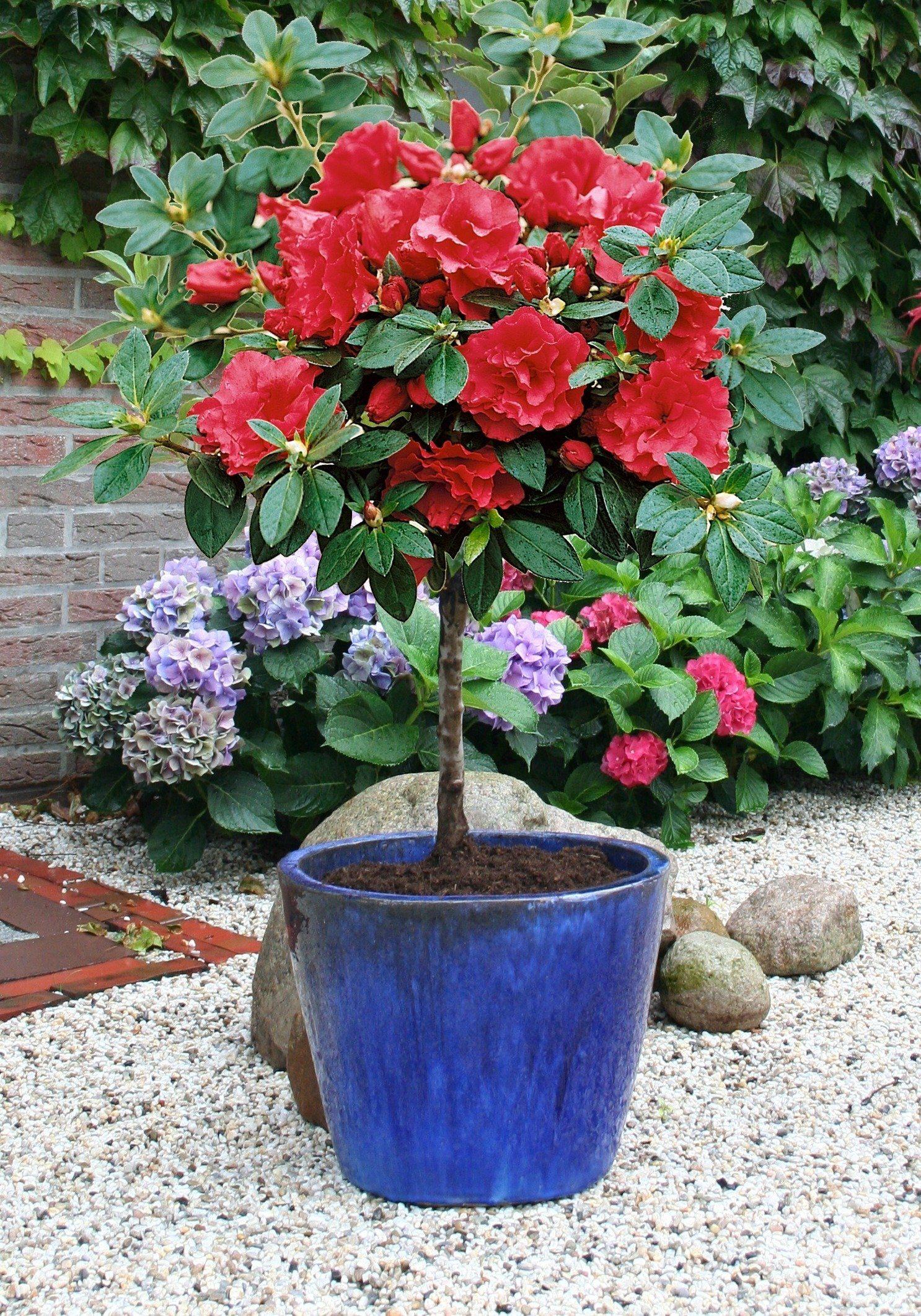 Rhododendron »Rhododendron-Stämmchen«