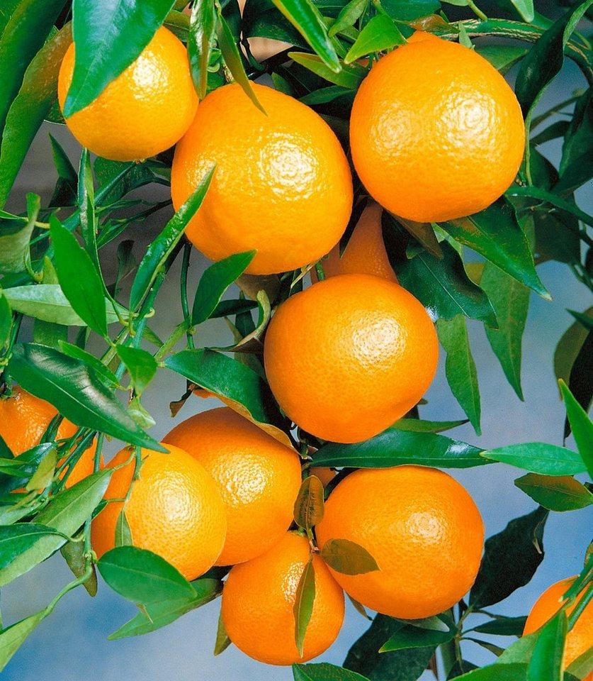 Zitrusbaum »Clementine« in gelb