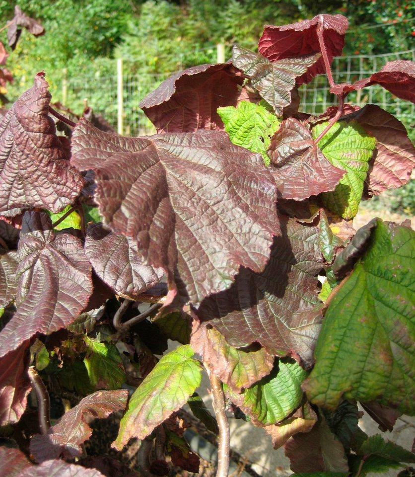 Korkenzieher-Haselnuss Red Majestic®, 60 cm als Stämmchen in lila