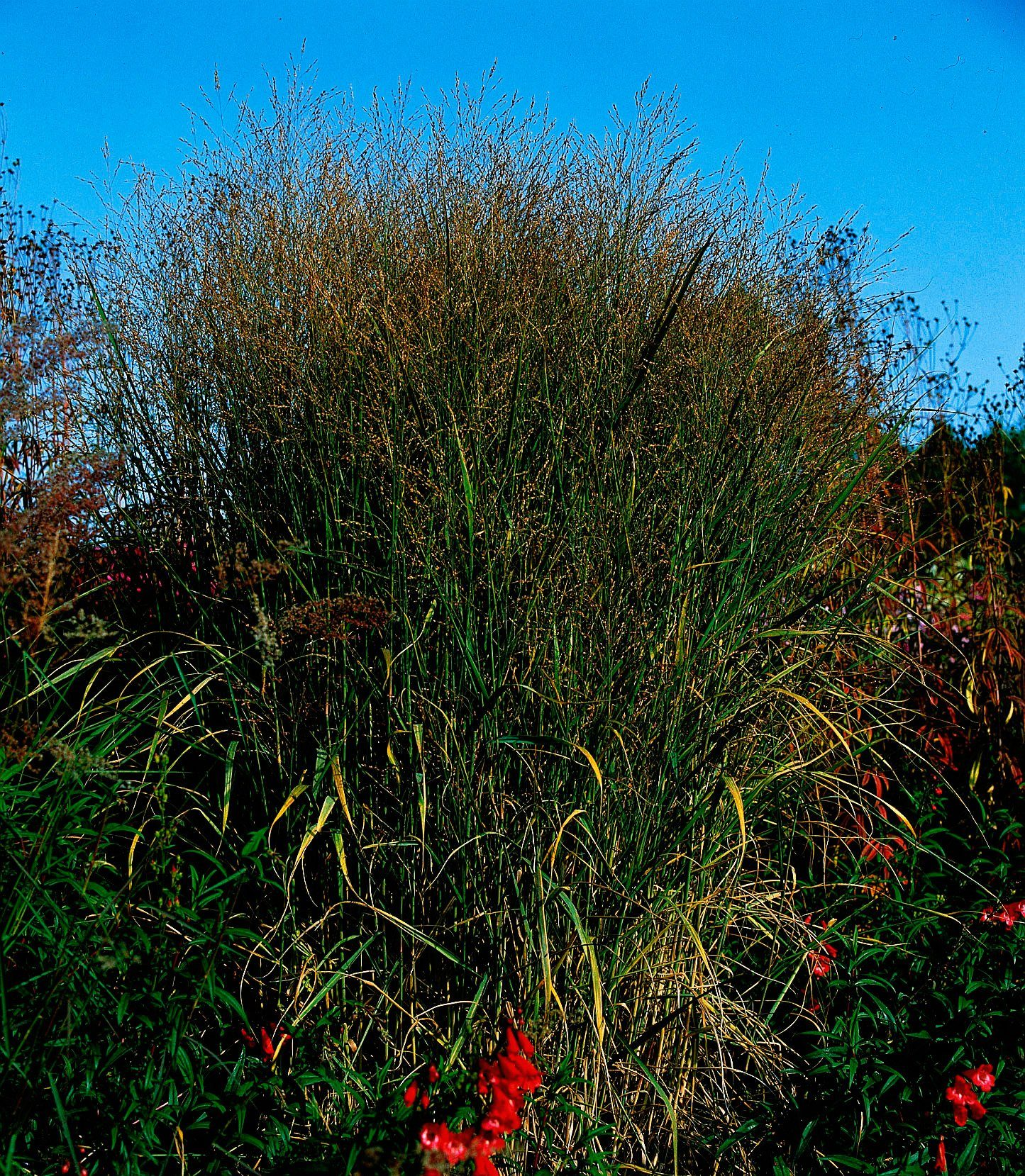 Gräser »Rutenhirse« (3 Pfl.)