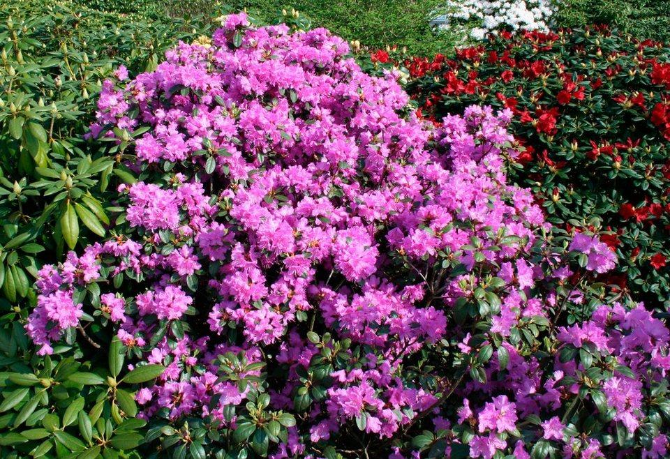 Rhododendron »Catawbiense Grandiflorum« in lila