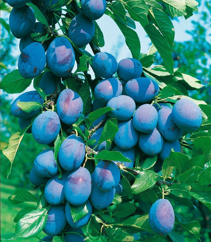 DUO-Obstbaum »Pflaume« in grün