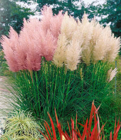 Gartengräser Winterhart gräser kaufen otto
