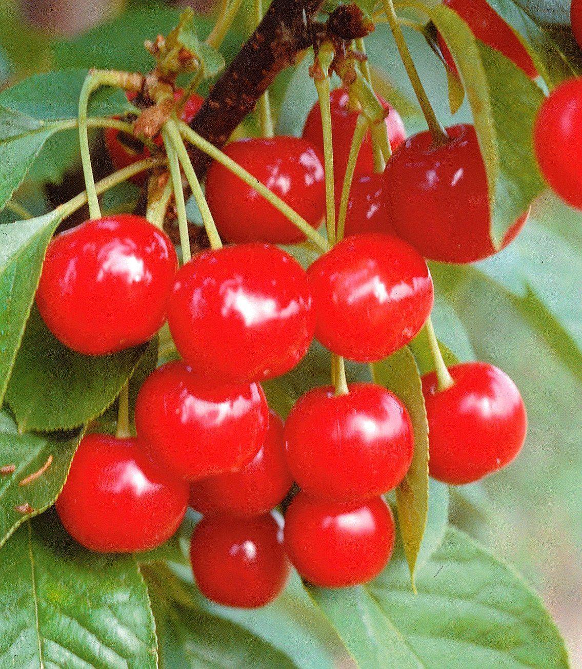 Obstbaum »Süßkirsche Große schwarze Knorpel Kirsche«