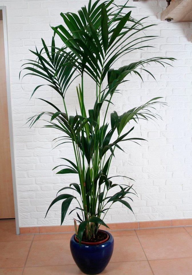 Zimmerpflanze kentiapalme online kaufen otto - Zimmerpflanze palme ...