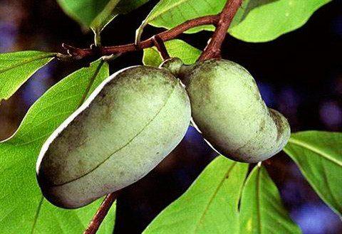 Obstbaum »Indianerbanane Paw Paw®«