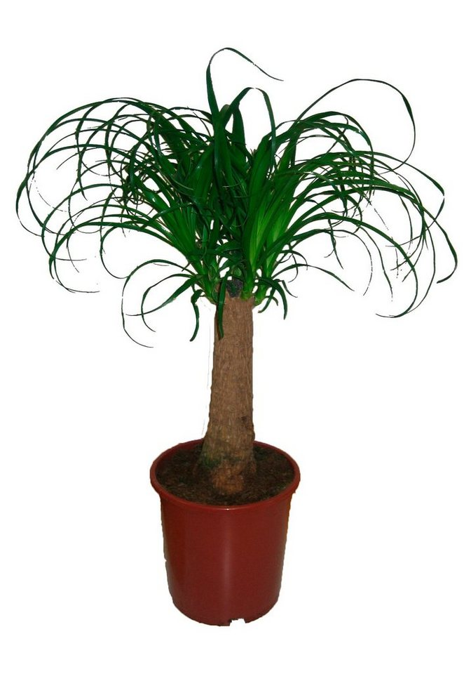 Zimmerpflanze »Elefantenfuß«, 50 cm in grün