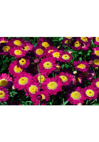 BCM Margerite »Chrysanthemen-Busch« rot-ro...