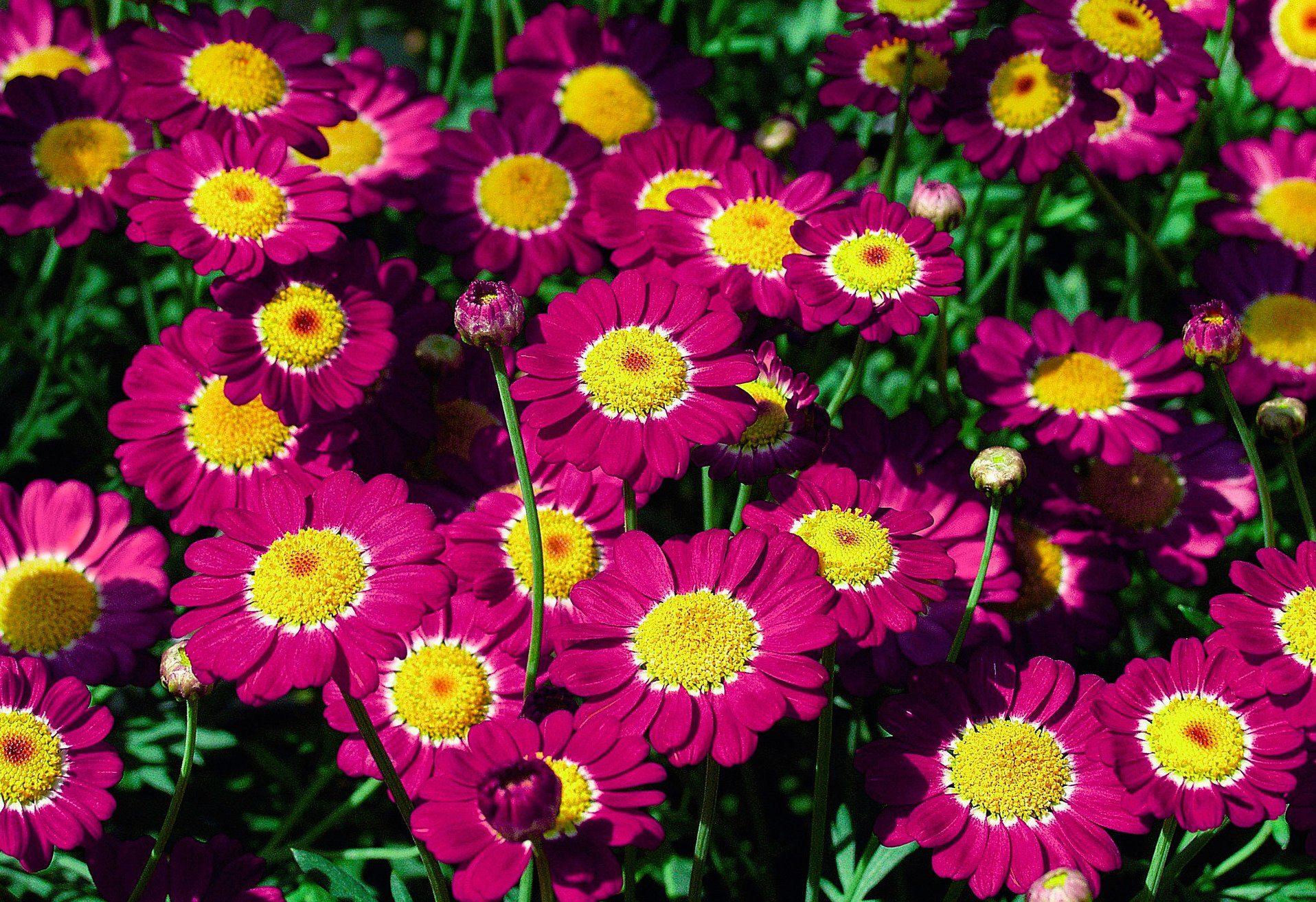 Magerite »Chrysanthemen Busch«, inklusive Übertopf