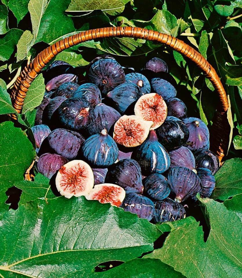 Obst »Feigenbaum« in blau