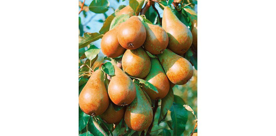 Zwergobstbaum »Birne Condo«