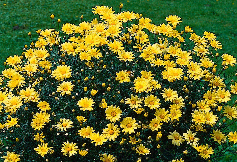 Margerite »Chrysantheme Stämmchen« inkl. Übertopf
