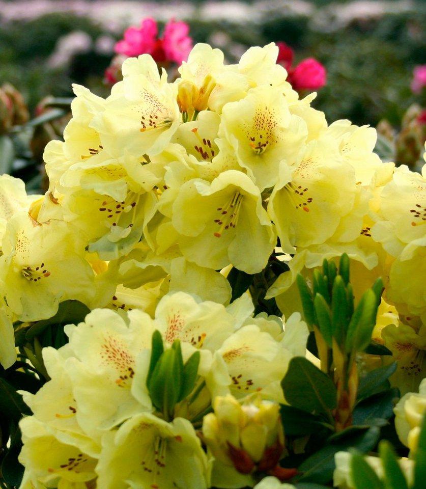 Rhododendron »Goldbukett®« in gelb