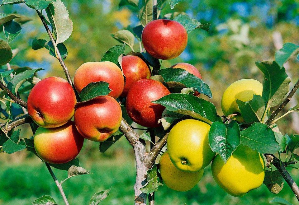 reife Obstbäume online