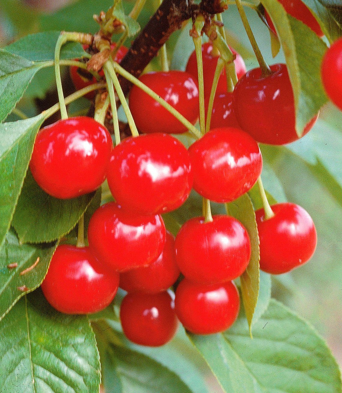 Obstbaum in U-Form »Kirsche«