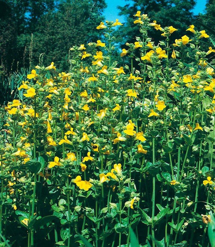 Set: Staudengewächs »Gauklerblumen« (3 Pfl.) in gelb