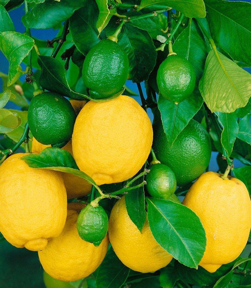 Zitrusbaum »Zitrone« in gelb