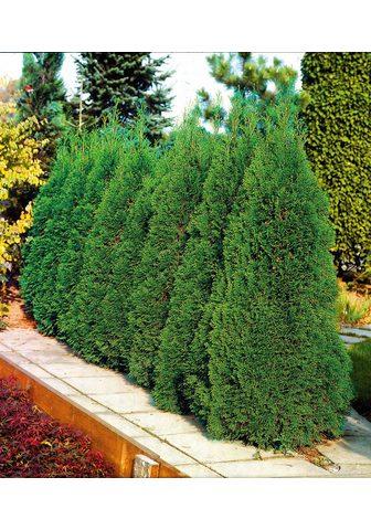 BCM Gyvatvorė »Lebensbaum Smaragd«