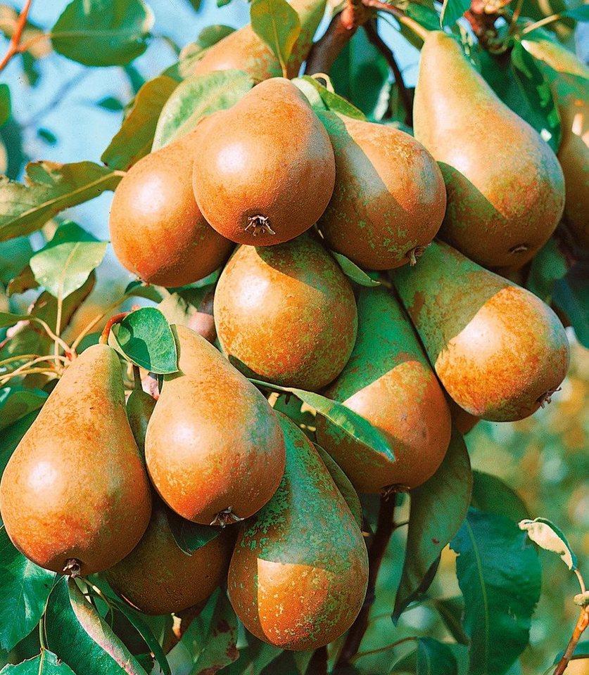 Obstbaum »Birne Köstliche von Charneux«, 100 cm in gelb