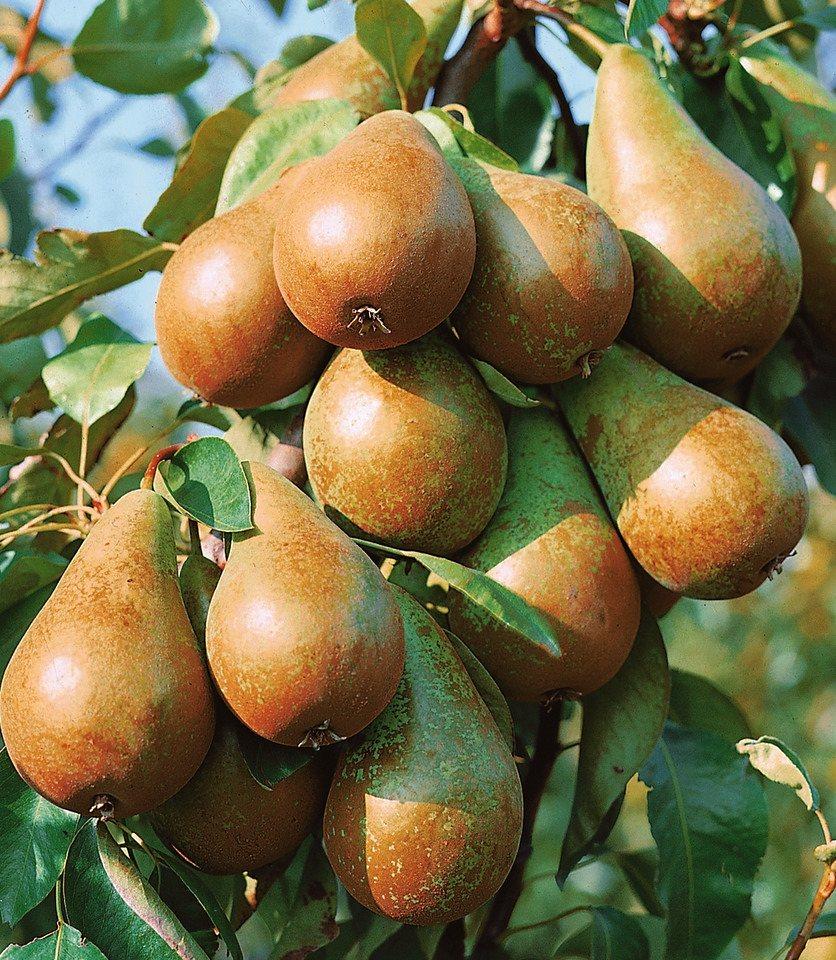 Obstbaum »Birne Köstliche von Charneux«, 150 cm in weiß