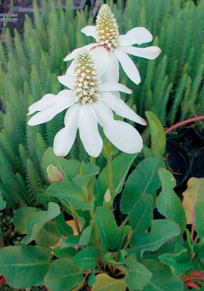 Uferpflanze »Eidechsenschwanz« (3 Pfl.) in weiß