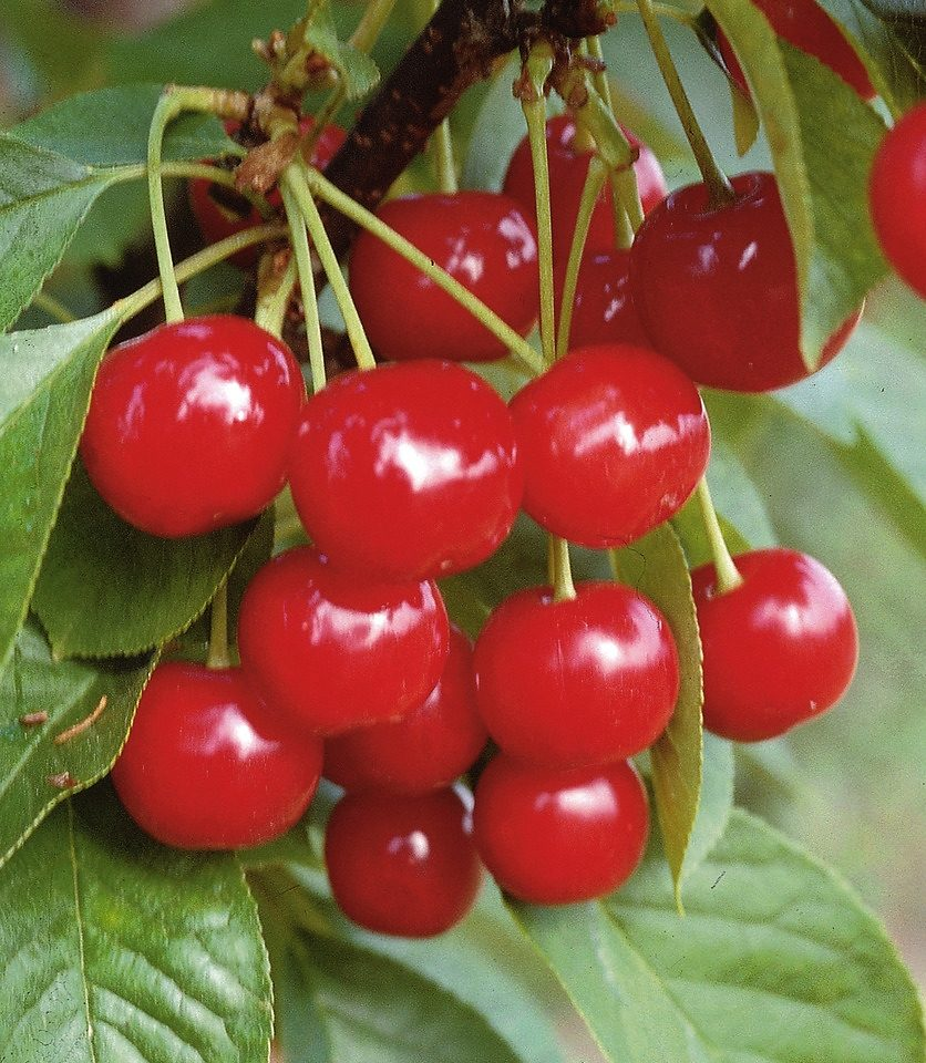 DUO-Obstbaum »Kirsche«