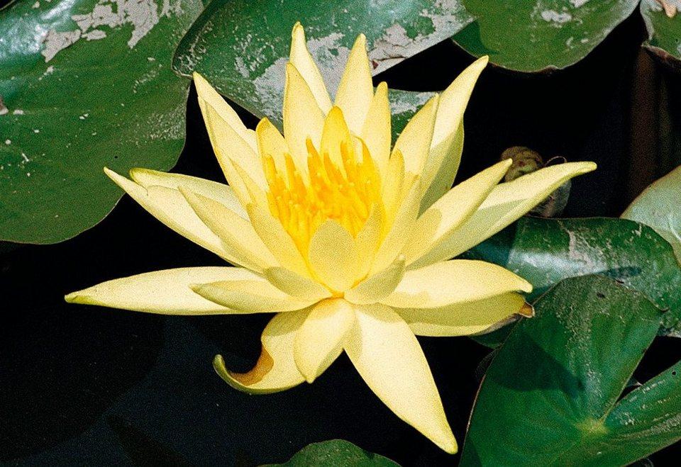 Seerose »Sulphurea« in gelb