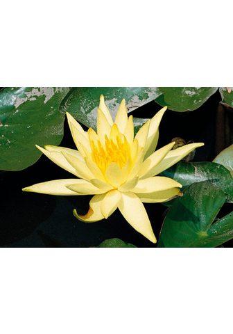 BCM Vandens lelija »Sulphurea«