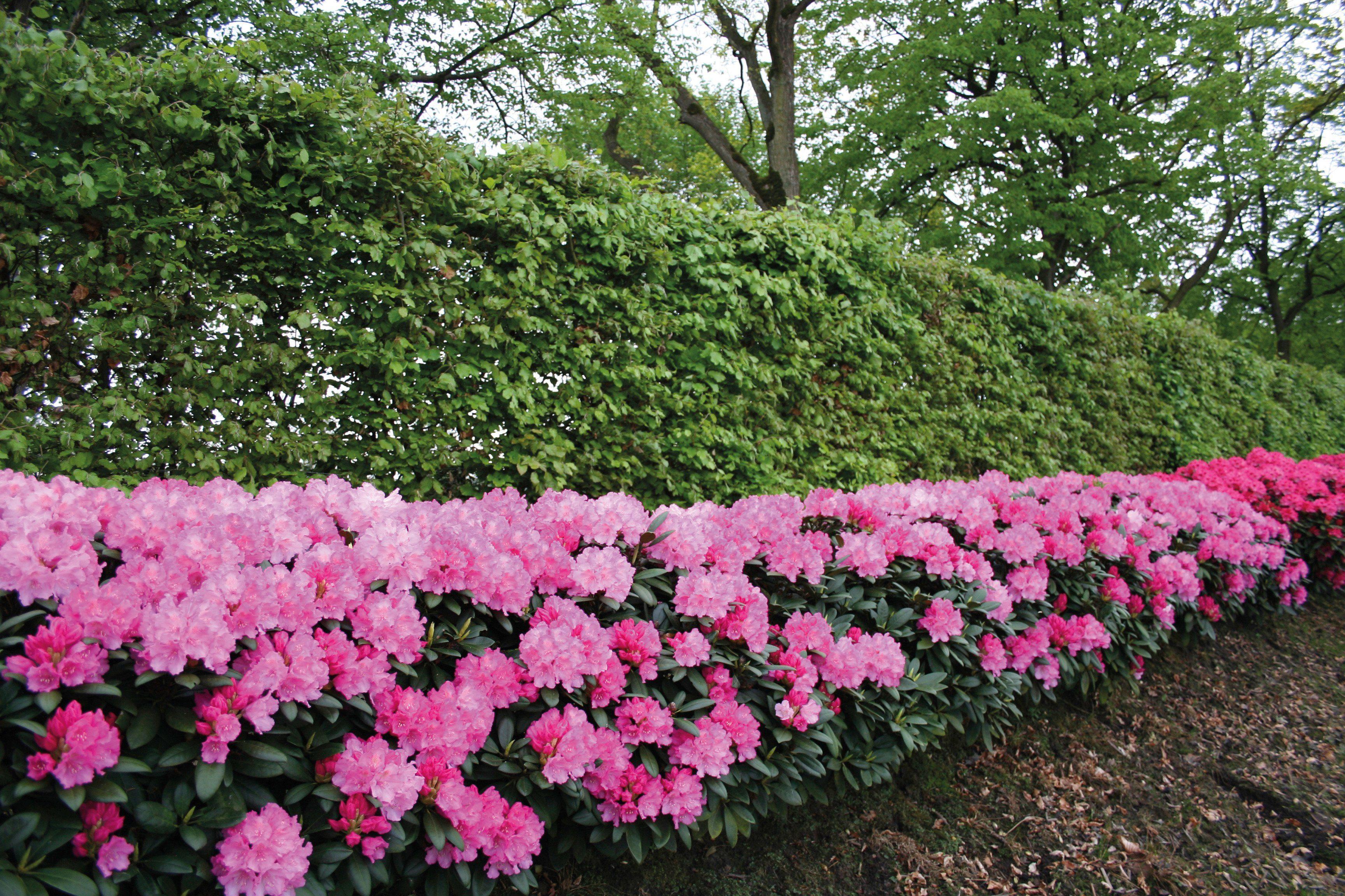 Rhododendron Roseum Elegans (2 Pfl.)